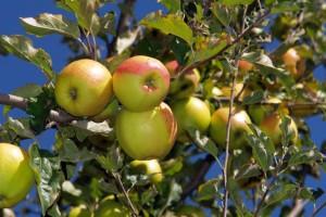 पाइन नट के बगीचे, सेब और चेरी के सुंदर पेड़ के लिए प्रसिद्ध सांगला