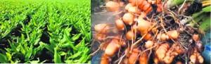 हल्दी की खेती हेतु भूमि की अच्छी तैयारी करने की आवश्यकता