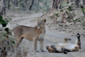 10 शेरों और करीब 90 चीतलों की गुजरात की बाढ़ ने ली जान