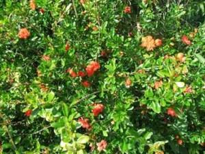 अनार के पौधों में फल छेदक और पौधों को सड़ाने वाले कीड़े लगने का खतरा रहता है