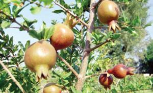 अनार के पौधे लगाकर किसान कमाई का एक अतिरिक्त जरिया