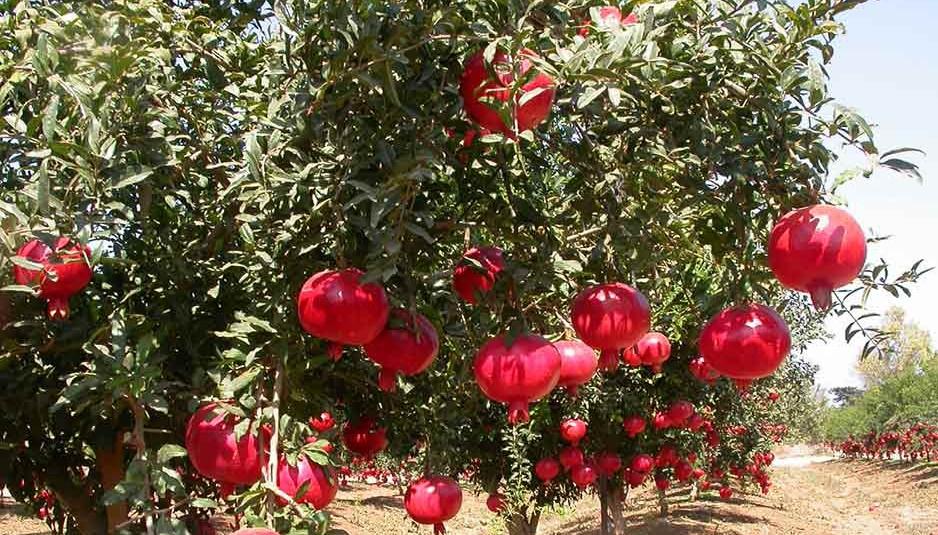 दूसरी फसलों के साथ अनार की खेती आमदनी का बेहतर जरिया
