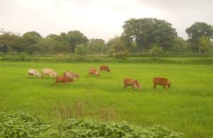 आवारा पशुओं का खेतों में आतंक