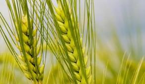 अगले वित्त वर्ष में 96,855 क्विंटल गेहूं बीज उत्पादित करने का लक्ष्य : डाॅ. नरेश कुमार
