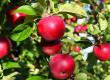 नवम्बर में बर्फबारी सेब व अन्य फलदार पौधों के लिए फायदेमंद...रखें इन बातों का भी ध्यान : डॉ. भारद्वाज