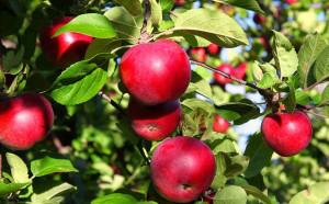 फसलों से लहराते खेत, बागों में उगते सेब हम सबकी है शान