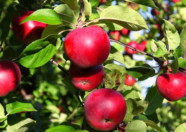 """सेब को गहरा लाल रंग देने व अधिक दाम की चाहत में """"एथेरल"""" का प्रयोग फलों के साथ-साथ पौधों के लिए भी खतरनाक : डॉ. एस.पी. भारद्वाज"""