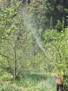 सेब बागीचों में अप्राकृतिक रूप से एथेरल का प्रयोग करने से बचें बागवान : बागवानी विशेषज्ञ