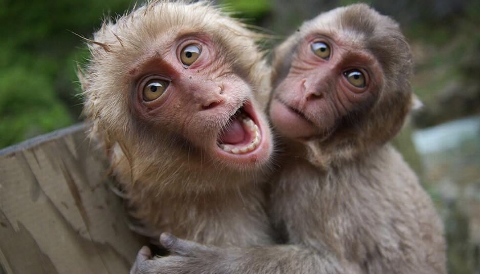 हिमाचल: अब बंदरों को पकड़ने पर एक हजार रुपये प्रति बन्दर देगी प्रदेश सरकार