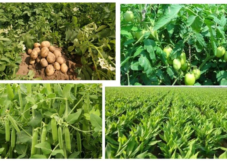 पारम्परिक खाद्य फसलों की तुलना में बे-मौसमी सब्जी उत्पादन में आमदनी अधिक