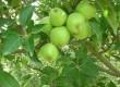 """""""स्कैब"""" रोग के प्रभाव वाले क्षेत्रों में किसानों एवं बागवानों को बागवानी विभाग की सलाह...."""