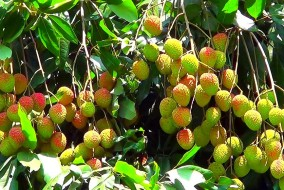 हिमाचल: बागवानी विभाग ने लीची खाने से चमकी बुखार की अटकलों को नकारा