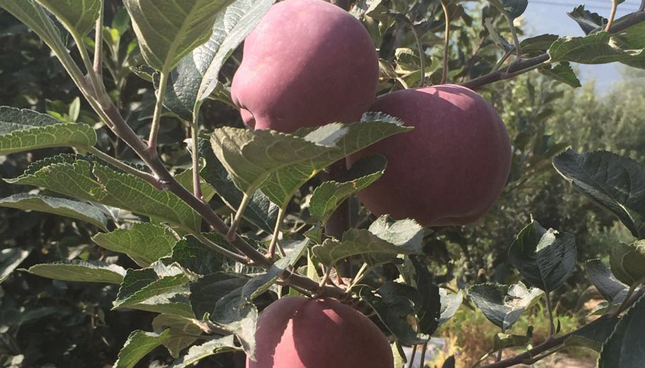 हिमाचल सेब के प्रापण के लिए मंडी मध्यस्थता योजना को मंजूरी