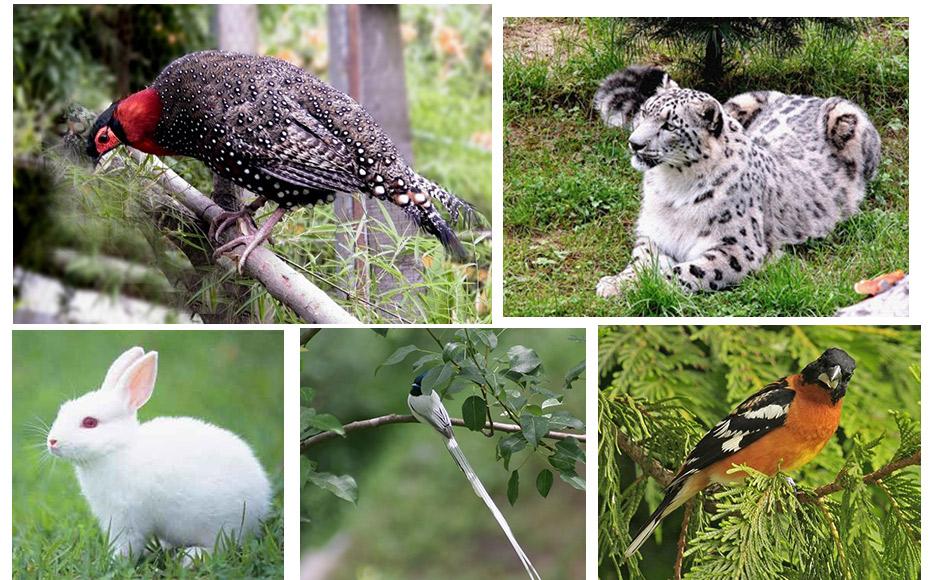 हिमाचल में बहुतायत संख्या में पाए जाते हैं वन्य पशु-पक्षी