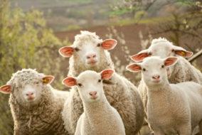 हिमाचल के जन-जातीय क्षेत्रों के निवासियों का प्राचीन व्यवसाय भेड़ पालन