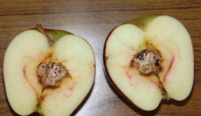 """कोर सड़न रोग से अधिकतर बागवान त्रस्त, सेब के """"कोर रॉट"""" रोग के निदान के लिए उचित समय"""