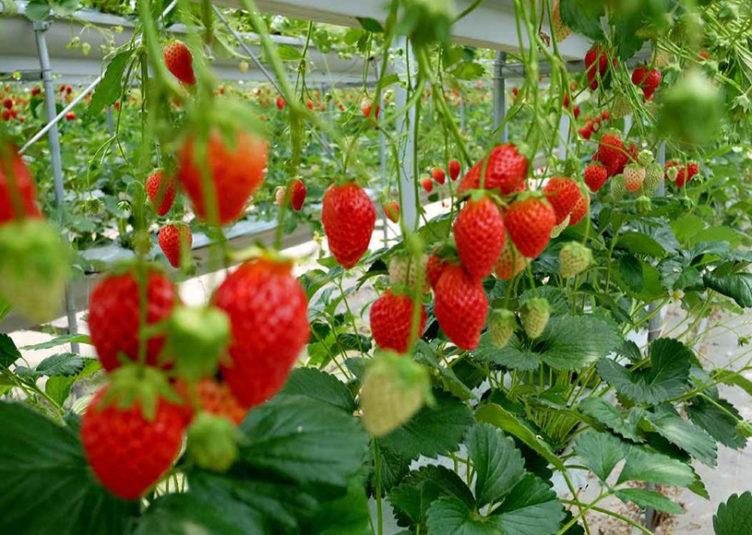 """""""स्ट्रॉबेरी की खेती""""…."""
