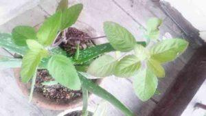 औषधीय पौधों