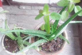 हिमाचल: औषधीय पौधों की खेती में अपार संभावनाएं
