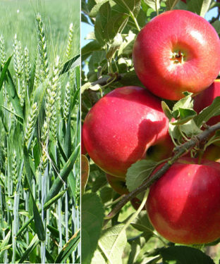"""""""किसान व बागवान हमारे हिमाचल का मान, फसलों से लहराते खेत, बागों में उगते सेब हम सबकी है शान ''"""