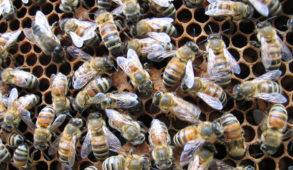 """""""मधु विकास"""" योजना राज्य में मधुमक्खी पालन को करेगी प्रोत्साहित"""
