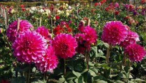 आधुनिक परिवेश में फूलों की पौध व सजावटी पौधों का उत्पादन स्वरोजगार का एक अच्छा विकल्प