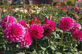 हिमाचल में डेहलिया फूल की खेती को मिलेगा बढ़ावा