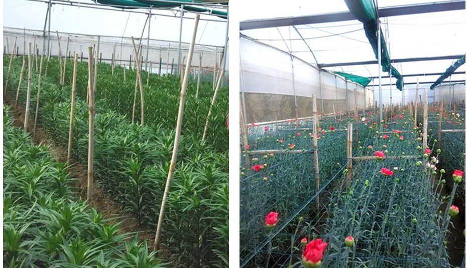 पॉलीहाऊस में फूलों की पौध व सजावटी पौधों का उत्पादन स्वरोजगार का एक अच्छा विकल्प