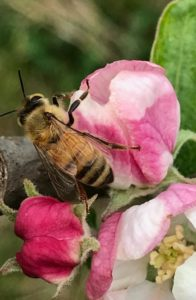 एटालीयन मधु मक्खी एपीस मेलिफ़ेरा