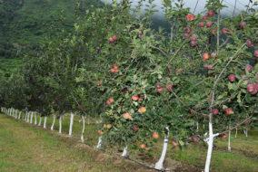 सोलन: नौणी विवि द्वारा बेचे गए 90,000 से अधिक फलों के पौधों, 2500 बागवान लाभान्वित