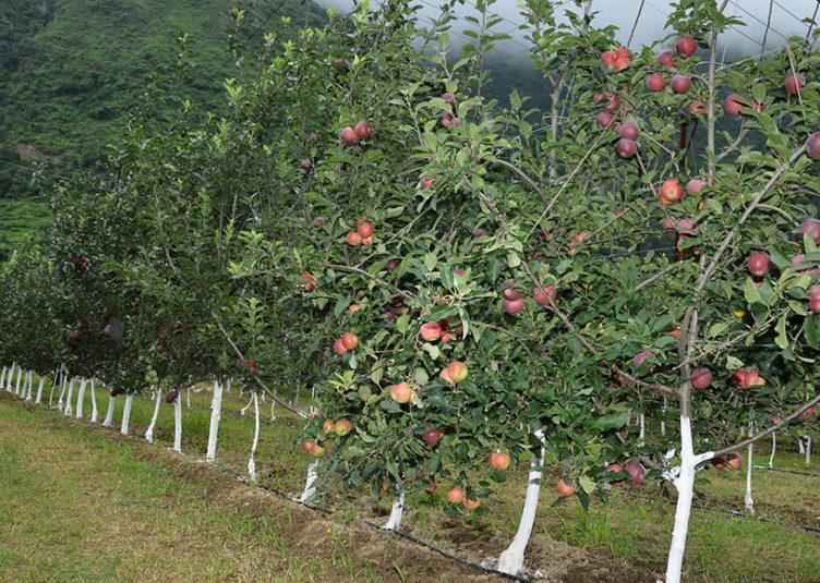 सेब में स्कैब, असामयिक पतझड़ व अल्टरनेरिया धब्बा रोग की बढ़वार को रोकने के लिए उपाय