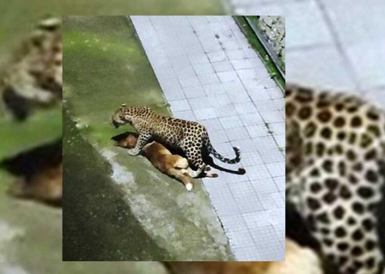 संजौली: समिट्रि में घर के बाहर दिखा तेंदुआ, कुत्ते का उठाया