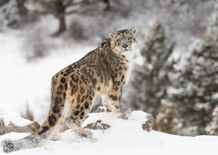 """बर्फानी तेंदुए व इसका शिकार बनने वाले जानवरों का मूल्यांकन करने वाला पहला राज्य बना """"हिमाचल प्रदेश"""""""