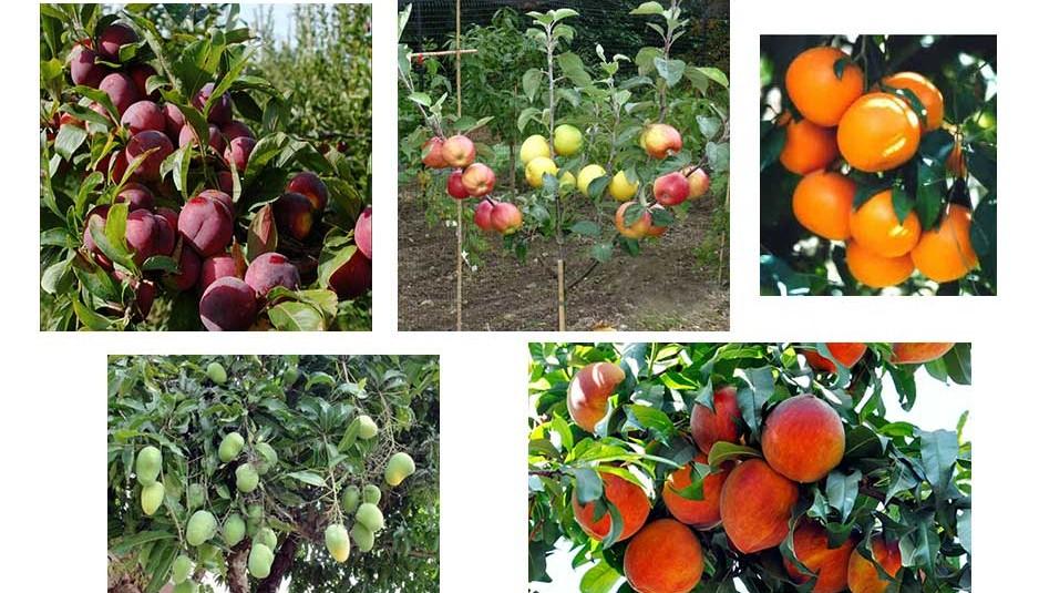 हिमाचल को फल राज्य बनाने पर खर्च होंगे 100 करोड़, 170 हेक्टेयर क्षेत्र में लगाए जाएंगे फलदार पौधे