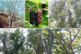 हिमाचल के वनस्पतिक पेड़-पौधे, इनकी विविधता व उपयोगिता, लोगों ने परम्परा से खोज निकाले इनके उपयोग के तरीके