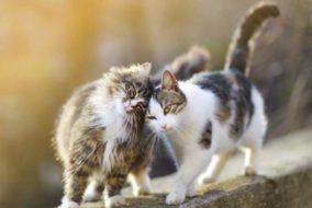इंसानों से अब जानवरों में फैलने लगा कोविड-19 : दो बिल्लियां हुईं कोविड-19 से संक्रमित